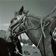 カザフ人の馬