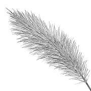 エノコログサ (Bristle grass)